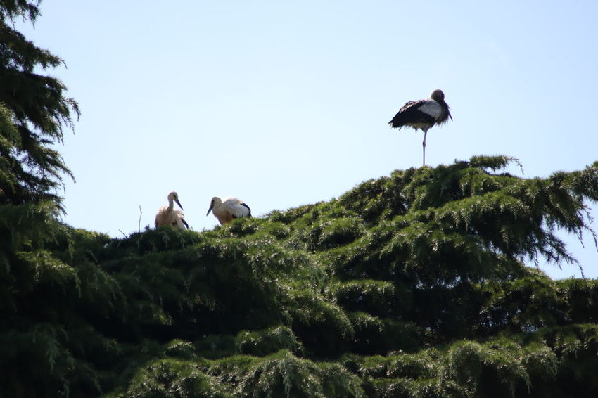 Clear Sky Animal Themes Animal Wildlife Animals In The Wild Beauty In Nature Bird Clear Sky Day Growth Low Angle View Nature No People Outdoors Stork Storks Togetherness Tree White Stork Young Stork
