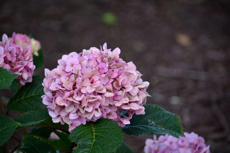 pink hydrangea Pink Color Pink Flower Flower Head Flowers Flowering Plant Hygrangea Hortensia Flower Hortensia Flora Close-up