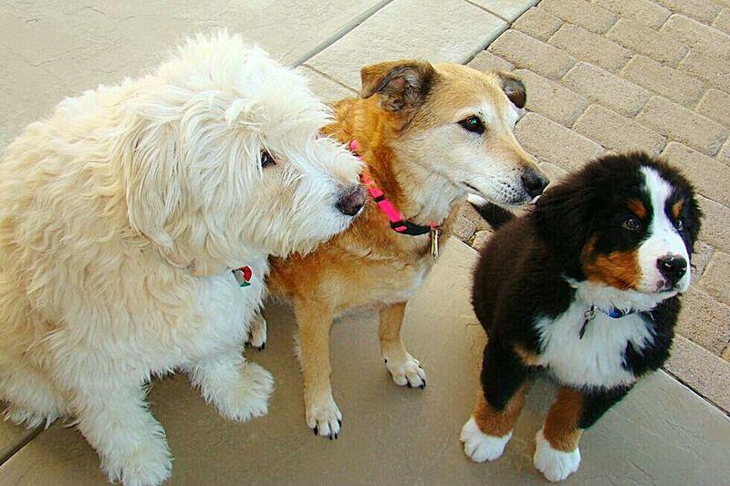 3 amigos 3 Dogs