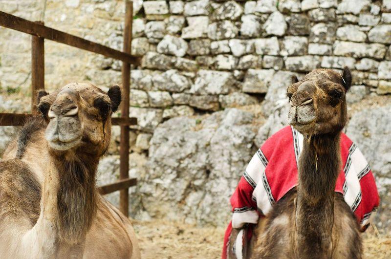 Feira Medieval de Óbidos '16. 🐪🐪 Portugal Óbidos  Nikon D5100  Nikon 50mm EyeEmBestPics Nikonphotography EyeEm FeiraMedievalObidos EyeEm Best Shots Nikonphotographer Camel Animals
