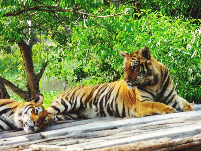 THE TIGERS... RELAXING... Tiger Relaxation Lying Down Safari Animals Grass Wildlife Undomesticated Cat Captive Animals