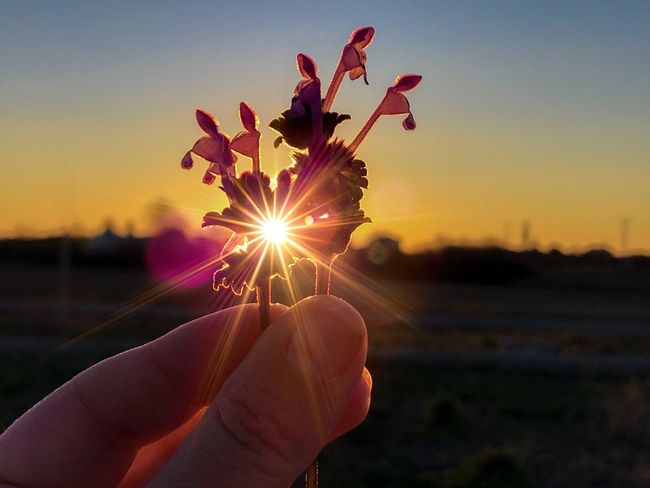 For you ❤️💘🌻 Love Romantic EyeEm Best Shots EyeEmNewHere Lensflare Bouquet Lamium Amplexicaule Lamium Sunset Silhouettes Sun Light Sunlight Sunbeam Silhouette Wildflower Environment Flowerporn Flower Head Flower Sunset Human Body Part Human Hand Sky Close-up One Person Sun Holding Nature People Adult Beauty In Nature