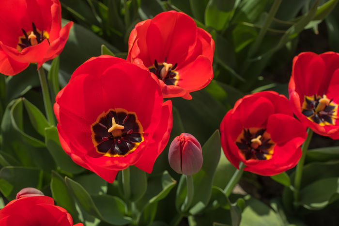 Bollenstreek, Tulip Wonderland Field Nature Red Colours Of Nature Flower Outdoors Red Flower Spring Tulip