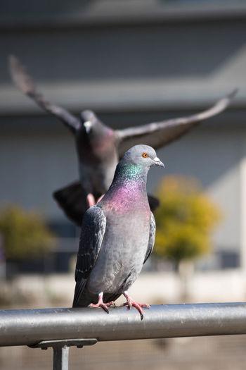 鳩ってこんなに綺麗でしたっけ? OSAKA Japan Daylight Bird Perching Mourning Dove Close-up Pigeon