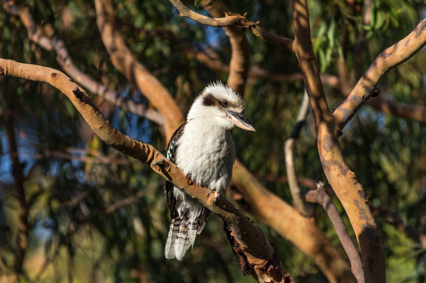 Kookaburra sitting in tree Australia EyeEm Best Shots Kingfisher Kookaburra The Great Outdoors - 2017 EyeEm Awards Animal Themes Animal Wildlife Animals In The Wild Australian Wildlife Beauty In Nature Bird Branch Day Focus On Foreground Nature No People One Animal Outdoors Perching Tree