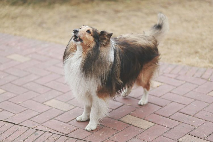 His name is Amu. 🐶🐕 What a lovely dog 😍 From My Point Of View Precious Moments Of Life Sheltie Sheltie Shetland Sheepdog Eyem Animal Lovers Pet Lover Canon Photography Canon 6D Lovely Photo Lovely Dog Lovely House  in Taiyuan China