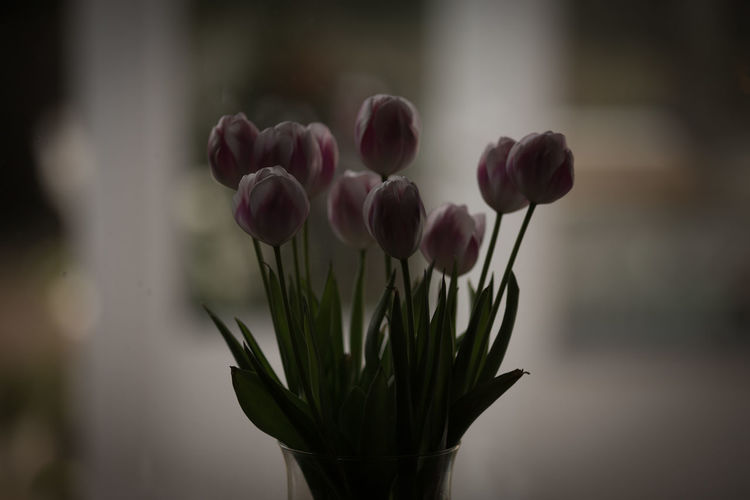 Beauty In Nature Beginnings Blooming Blossom Botany Bud Close-up Flower Flower Head Focus On Foreground Fragility Freshness Growing Growth In Bloom Leaf Nature No People Petal Pink Color Plant Selective Focus Tulips