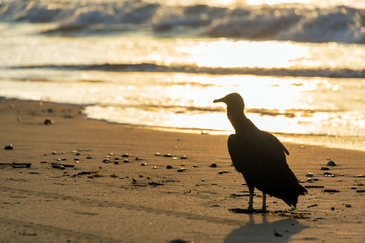 Silhouette of a vulture on a beach at sunset Animals In The Wild Beach Beauty In Nature Bird Day Ecuador Landscape Nature No People Ocean One Animal Outdoors Pacific Pacific Ocean Same  Sea Silhouette South America Sunlight Sunset Tourism Travel Travel Destinations Vulture Water