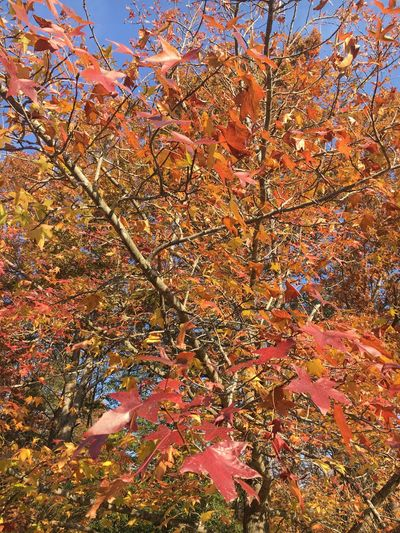 Fall Leaves Autumn Beauty In Nature Maple Leaf Red Leaves Changing Seasons Changing Colors
