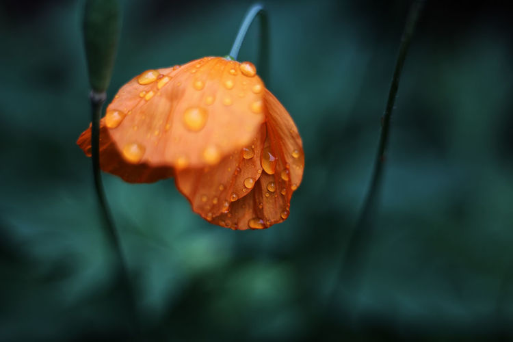 Close-up of wet orange flower