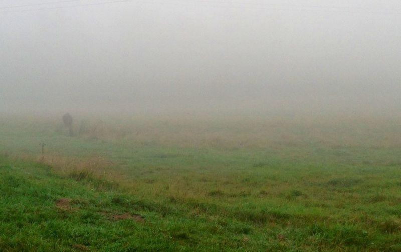 lone Buffalo In a Foggy Field