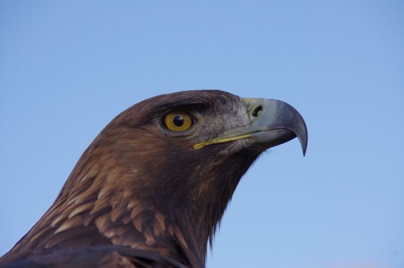 Bird of Prey Adler Animal Themes Animal Wildlife Animals In The Wild Beak Bird Bird Of Prey Blue Clear Sky Close-up Day Hawk - Bird Low Angle View Nature No People One Animal Outdoors Perching Sky