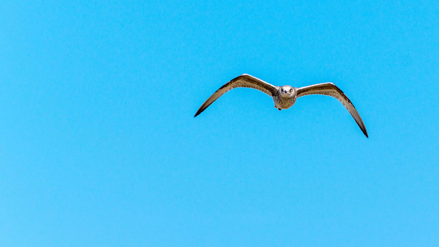 Adventure Beauty In Nature Blue Clear Sky Copy Space Day Exhilaration Extreme Sports Flying Freedom Full Length Low Angle View Mid-air Motion Nature One Person Outdoors Seagull