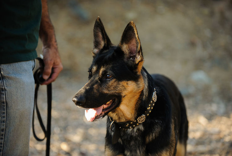 German Shepherd dog Animal Animal Themes Day Dog German Shepherd Händler Natural Light One Animal One Person Outdoors Pet Shepherd