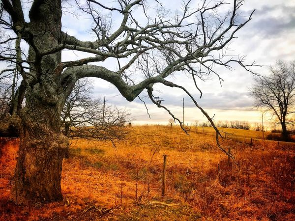 Gnarled Tree Tree Landscape Nature Bare Tree Tranquility Beauty In Nature Outdoors Scenics Tree Trunk Tranquil Scene Sky Field No People Branch Autumn Day