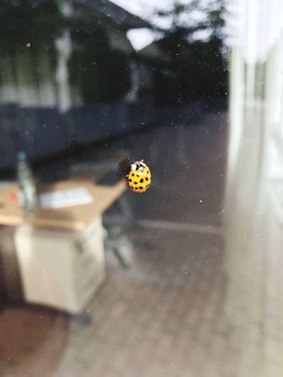 Close-up of ladybug on window