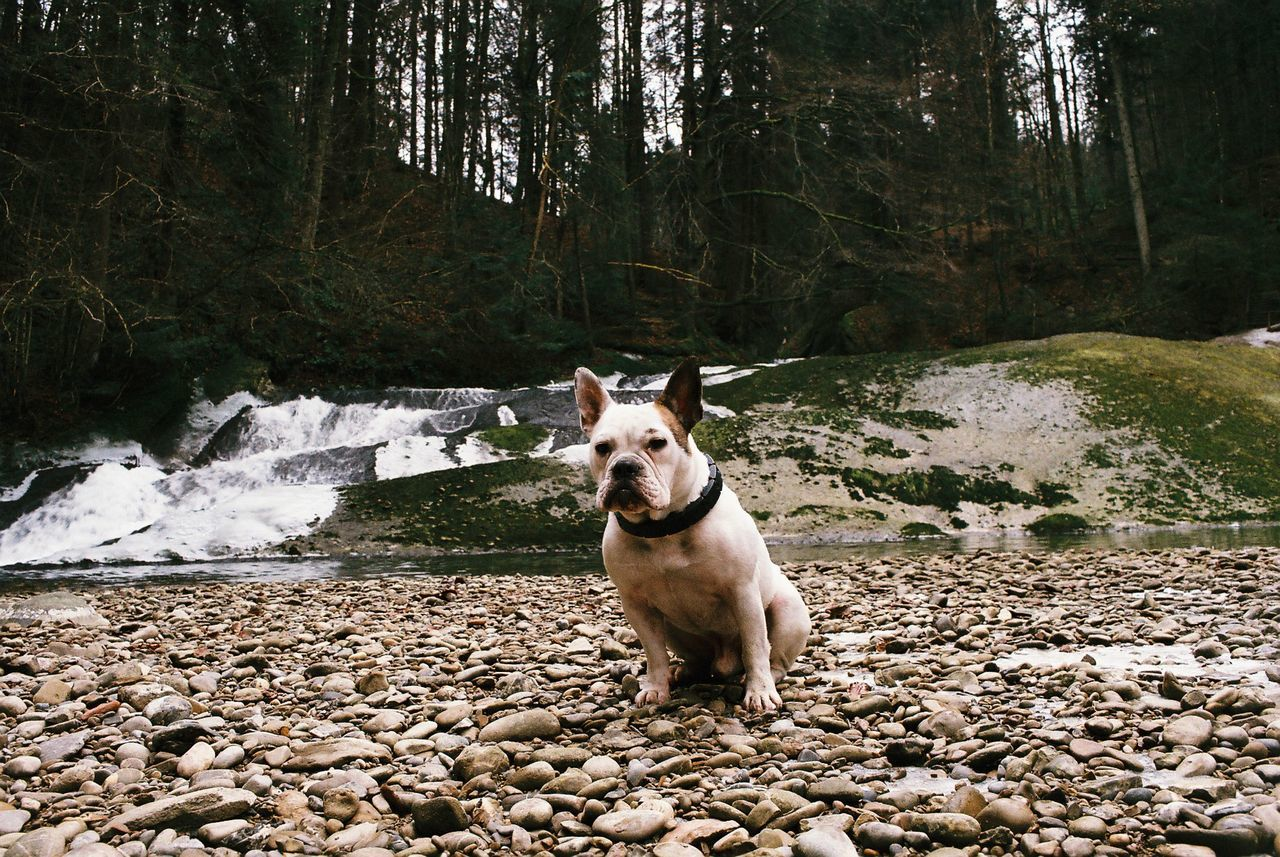 dog, canine, one animal, domestic, pets, mammal, domestic animals, animal themes, animal, tree, vertebrate, water, nature, rock, land, forest, solid, day, stone - object, portrait, no people, outdoors, stream - flowing water, pebble, flowing water