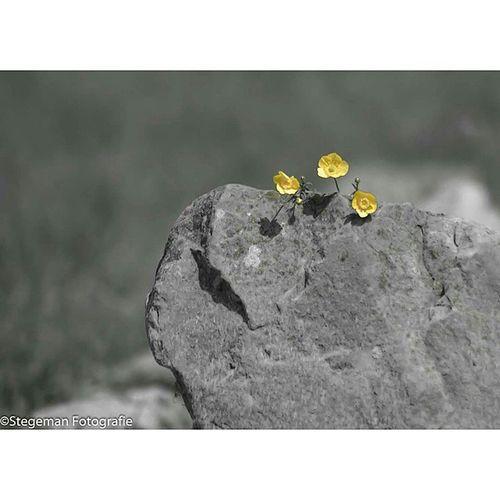 """""""Boterbloem"""" Boterbloem Geel Yellow Grey stilleven foto photography fotografie"""