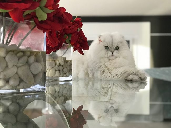 Happy Valentine's Day🌹🌹 White Background Feline My Point Of View Reflection White Domestic Animals Pets Animal Themes Indoors  Feline One Animal Home Interior Flower Persian Cat  No People Day