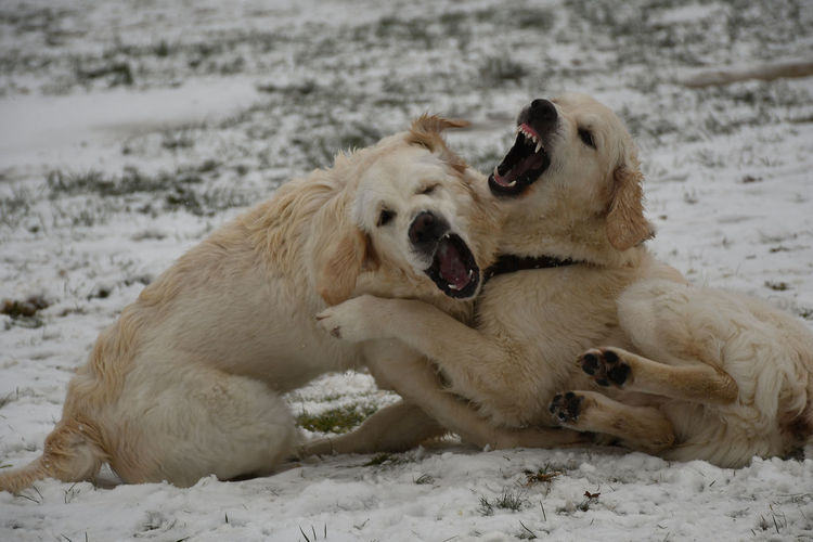 Dogs Dogs Of EyeEm Dogs Playing  Golden Retriever Animal Themes Cold Temperature Dog Dogs Of Winter Snow Two Animals
