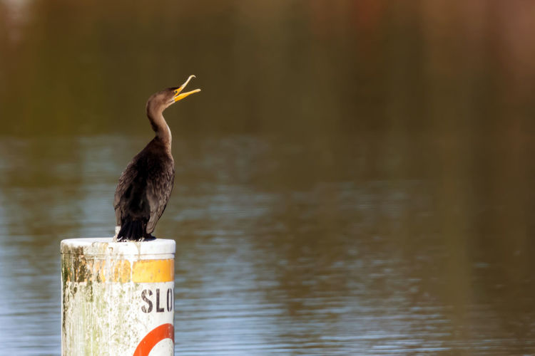 Cormorant on a slow wake post Alertness Animal Photography Animal Themes Animal Wildlife Animals In The Wild Animals In The Wild Bird Bird Photography Bird Watching Birds Of EyeEm  Birds_collection Birdwatching Cormorant  Curious Day Feathers, Soft, Contrast, Light, Delicate, Fragile, Light And Dark Lake Nature No People One Animal Outdoors Pole Post Waterfowl Sanctuary Wildlife & Nature