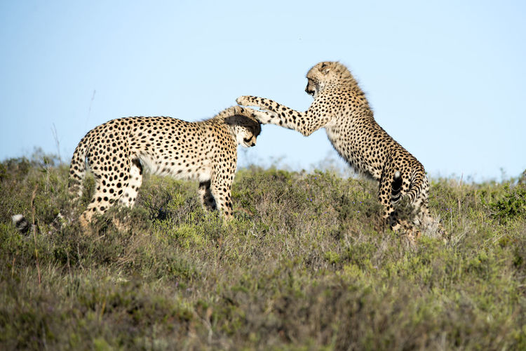 Cheetah siblings at play African Wildlife Animals In The Wild Cheetah Sibling Love Siblings South Africa Spotted Teenagers  Wildlife & Nature Wildlife Photography African Safari Animal Animal Themes Animal Wildlife Animals In The Wild Animals Playing Big Cat Cat Cheetah Feline Fun And Games Grass Mammal Nature No People Safari Sibling Rivalry So Much Fun Tag You're It Undomesticated Cat Vertebrate Wild Wildlife