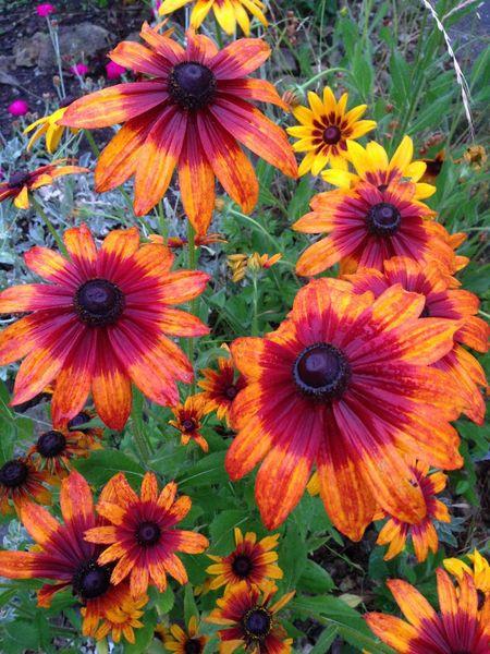 Orange By Motorola Orange Fiori Flowers Echinacea Japan Garden Nature Echinacea