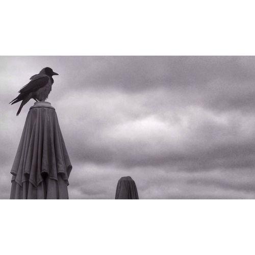 Crow Karga Arnavutkoy