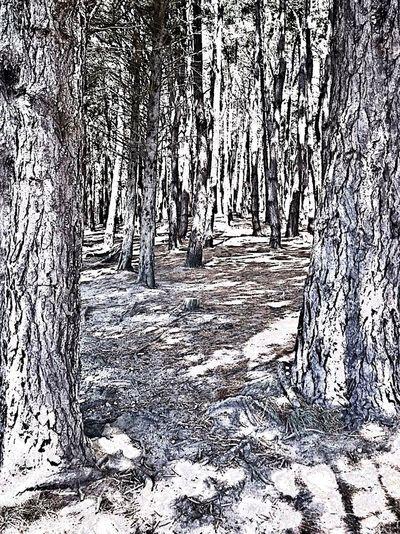 Tree Trunk Pine