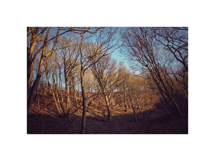 Blue Sky Bank Natural Light Landscape Winter Forest Wood No Leaves Golden Light Through Trees Golden Lighting Autumn Scene Golden Light Bare Tree Tree No People Nature Day Outdoors