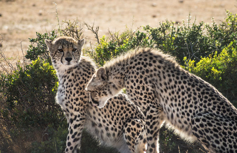 Animal Animal Family Animal Themes Animal Wildlife Animals In The Wild Big Cat Cat Cheetah Day Feline Group Of Animals Mammal Nature No People Plant Portrait Safari Spotted Two Animals Young Animal