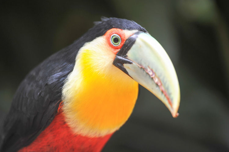 Brazil Animal Themes Animal Wildlife Animals In The Wild Beak Beauty In Nature Bird Close-up Day Focus On Foreground Forest Hornbill Iguazu Nature No People One Animal Outdoors Rain Forest Red Tucan Tucano Yellow