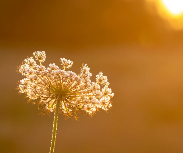 Flower Flowering Plant Freshness Fragility Plant Beauty In Nature Vulnerability  Inflorescence Growth Nature Flower Head No People Dandelion Close-up Outdoors Sunset Sky Copy Space Petal Focus On Foreground Dandelion Seed