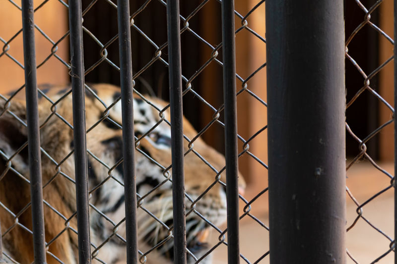 Tiger in cage. Zoo Animal Architecture Barrier Boundary Building Building Exterior Cage Chainlink Fence Conserve Enclosure Fence Full Frame Guard Metal Nick Pattern Penitentiary Preserve Protection Safety Security Slammer Tiger Wildlife