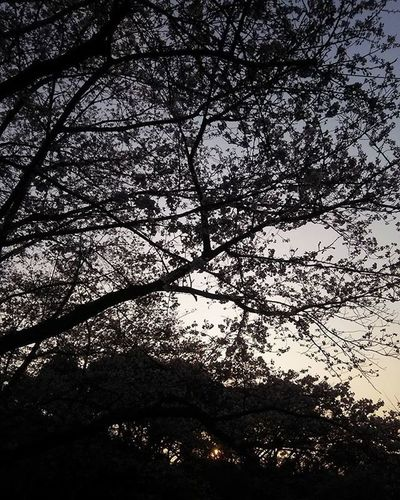 Sunset Sky Goldenhour Lightandshadow カメラ好きな人と繋がりたい 写真好きな人と繋がりたい ファインダー越しの私の世界 影 今空 光と影 桜の木 サクラ 桜 日没 夕暮れ 空 イマソラ お写んぽ カメラ日和 シルエット Silhouette Cherry