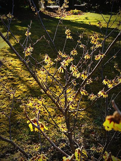 Check This Out Easter Ready In Bloom Growth Blooming No People Garden Zaubernuss Yellow Witch Hazel Plant