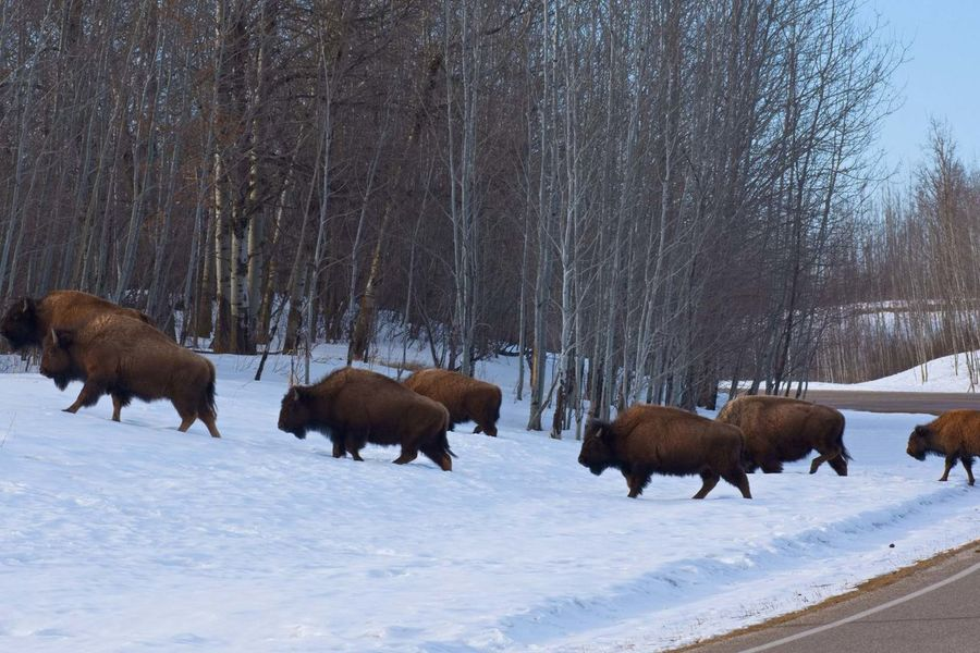 Bison crossing Alberta Canada Springtime Snow No People Outside Crisp Air Bison National Park Wildlife Road Trees Large Animal Nature American Bison Natural Parkland Animal Themes
