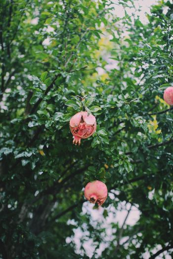 Pomegranate Growth Tree Nature Flower Day No People Outdoors Pink Color Plant Beauty In Nature Freshness Flower Head Fragility Close-up ザクロ 柘榴 Japan 京都 雨 Rain Kyoto