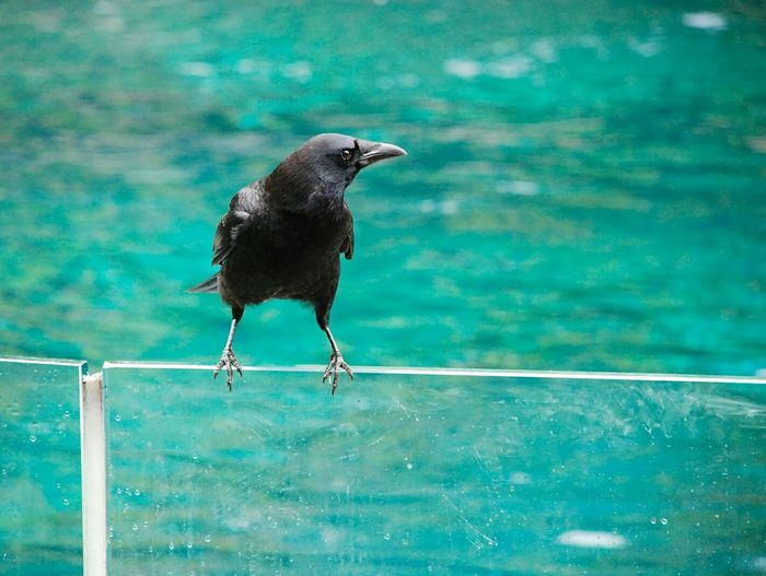 Crow Perching On Glass Railing By Lake