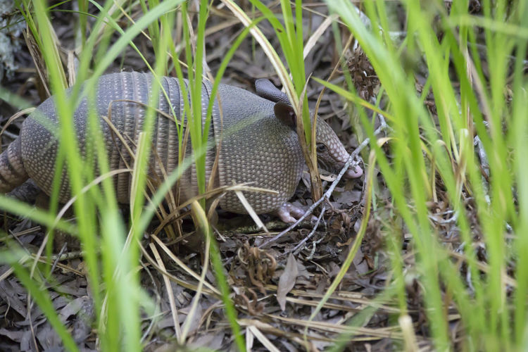 Armadillo rooting around for insects Animals In The Wild Armadillo Armor Heavy Animal Animal Head  Animal Photography Animal Themes Animal Wildlife Animals Animals In The Wild Armored Animal Close-up Day Field Grass Gray Grey Land Mammal Mammal In Nature Nature No People One Animal Shelled