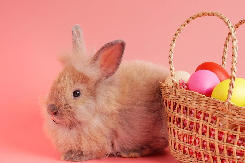 Light brown rabbit standing behind colorful Easter eggs basket on pink background. Pink Colorful Brown Fluffy Basket Easter Mammal Egg Animal Indoors  Celebration Pets Holiday Animal Themes