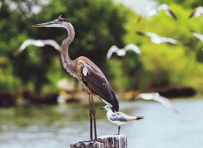 Side View Of Heron And Seagull Perching On Wooden Posts In Lake