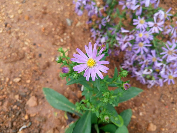 Beauty Beauty In Nature Beauty In Nature Blooming Close-up Day Floral Flower Flower Collection Flower Head Fragility Freshness Growth Leaf Nature No People Nwin Photography Outdoors Petal Plant Purple Purple Flower Sony Xperia M5 Xperian Photography