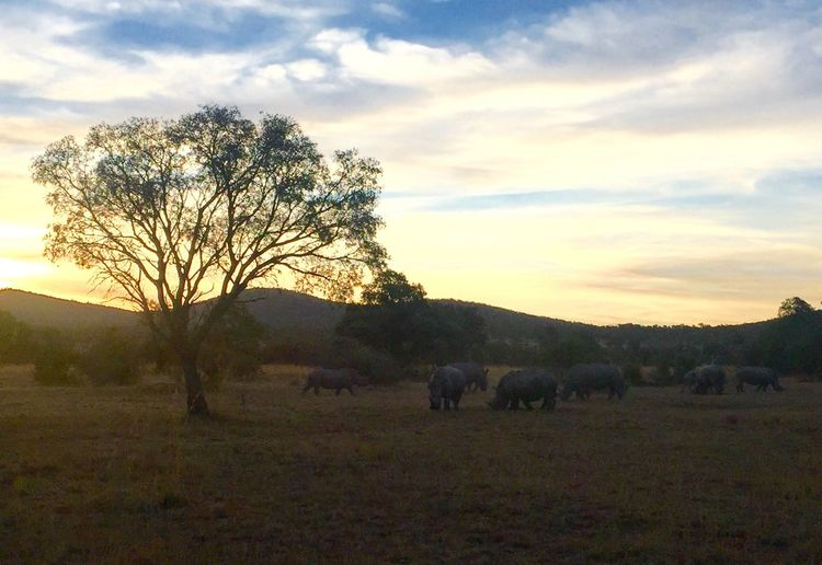 A crash of rhinoceros grazing in the last light before sunset - spectacular to see these ancient animals together. Mabula Eyeem South Africa Rhino Sunset Winter Nature