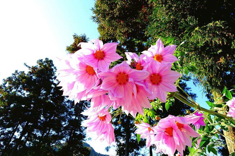 最近巷でよく見ます。Tree Dahlia Flowers Hello World Saga,Japan Taking Photos Nature From My Point Of View Pink Flower Hello World