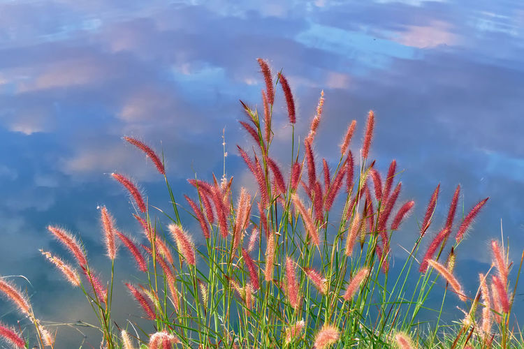Grass Beauty In Nature Close-up Day Fountain Grass Growth Low Angle View Nature No People Outdoors Plant Reflections In The Water Sky Tranquility