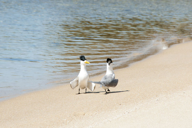 Greater Crested Terns Australia Crested Terns Rottnest Island Beach Bird Crested Greater Sand Tern Water