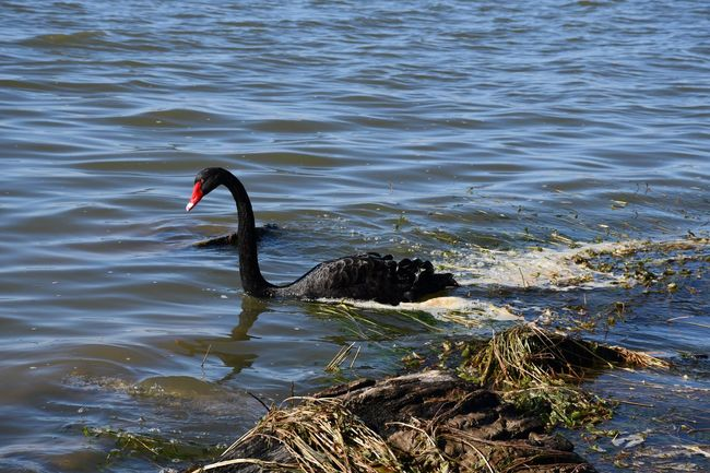 Black Swan On Water Water Animal Themes Bird Animal Vertebrate One Animal Animal Wildlife Beauty In Nature Swimming Nature Outdoors Rippled Swan Animal Neck Day Lake No People