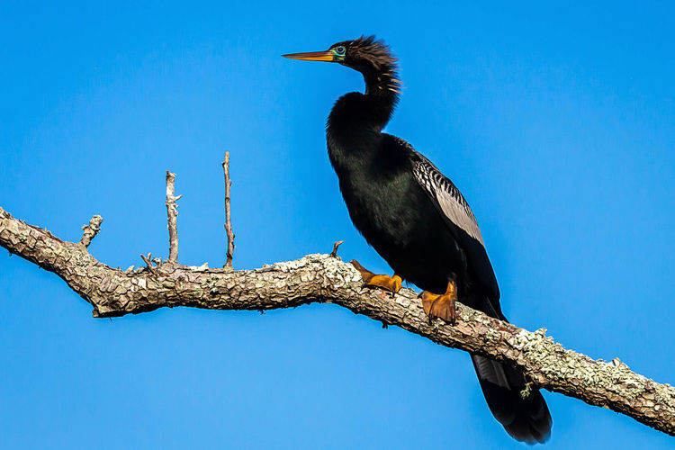 Animal Wildlife Animals In The Wild Bird Vertebrate Animal Themes Perching Animal One Animal Tree Branch Low Angle View Sky Blue No People Plant Day Cormorant  Nature Clear Sky Black Color Outdoors Beak