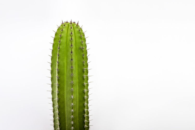 Cactus Green Color White Background No People Studio Shot Plant Growth Copy Space Beauty In Nature Nature Spiked Close-up Succulent Plant Cactus Thorn Outdoors Day Succulent White